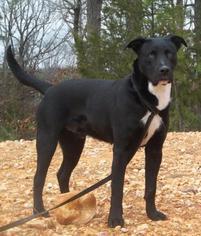 Yakko - Labrador Retriever / Terrier / Mixed Dog For Adoption