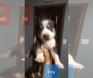 Sharberian Husky-Siberian Husky Mix Puppy for sale in FRANKLIN, WI, USA