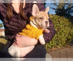 French Bulldog Puppy for Sale in PASCO, Washington USA
