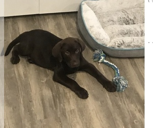 Labrador Retriever Puppy for sale in POWELL, OH, USA