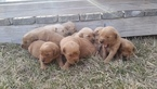 Golden Retriever Puppy For Sale in CORVALLIS, MT, USA