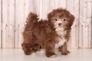 Shih-Poo Puppy for sale in MOUNT VERNON, OH, USA