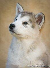 Alaskan Malamute Puppy for sale in Berdychiv, Zhytomyr, Ukraine