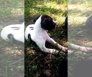 Great Dane Puppy for sale in MONROE, GA, USA