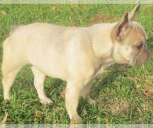 Father of the Faux Frenchbo Bulldog puppies born on 02/20/2021