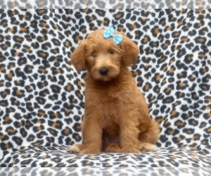 Labradoodle Dog for Adoption in LAKELAND, Florida USA