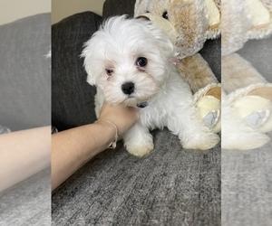 Maltese Puppy for sale in HIALEAH, FL, USA