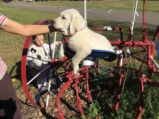 Labrador Retriever Puppy For Sale in NORWALK, CT, USA