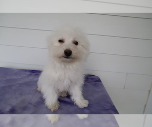 Bichon Frise Puppy for sale in CINCINNATI, OH, USA