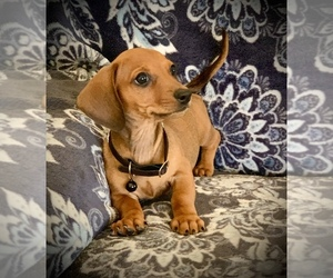 Dachshund Puppy for sale in HESPERIA, CA, USA