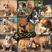 American Bully Puppy For Sale in GREELEY, CO, USA