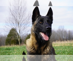 Father of the Belgian Malinois puppies born on 08/13/2020