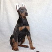 Doberman Pinscher Puppy For Sale in GAP, Pennsylvania,