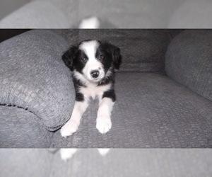 Border Collie Puppy For Sale in AIKEN, SC, USA