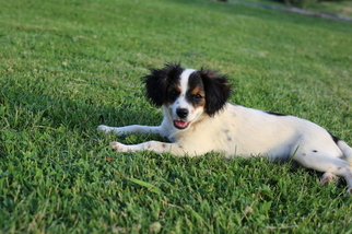 Medium Australian Cattle Dog-Cavalier King Charles Spaniel Mix