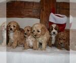 Small #1 Cavapoo-Poodle (Miniature) Mix