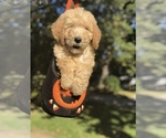 Small #31 Goldendoodle-Poodle (Standard) Mix