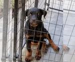 Small #69 Rottweiler