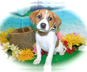 Jack Russell Terrier-Unknown Mix Puppy for sale in HAMMOND, IN, USA