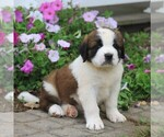 Small #4 Saint Bernard