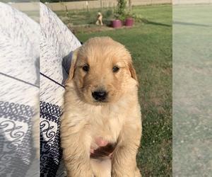 Golden Retriever Puppy for sale in NEWTON GROVE, NC, USA