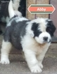 AKC Ch Top line StBernard puppies 4 sale
