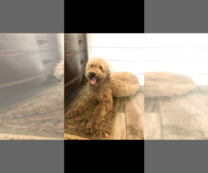 Mother of the Goldendoodle puppies born on 06/15/2021