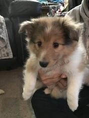 Shetland Sheepdog Puppy For Sale in YORKTOWN, VA, USA