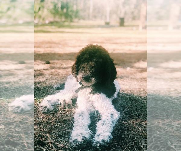 Medium Photo #1 Goldendoodle Puppy For Sale in MONTGOMERY, AL, USA