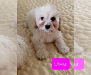 Cavachon-Cavalier King Charles Spaniel Mix Dog for Adoption in WASHINGTN TWP, Michigan USA
