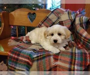 Havachon Puppy for Sale in NIANGUA, Missouri USA