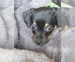 Chiweenie Puppy for sale in SAN DIMAS, CA, USA