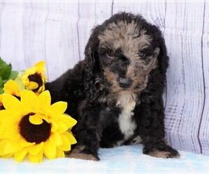 Poodle (Miniature)-Sheepadoodle Mix Puppy for sale in FREDERICKSBG, OH, USA