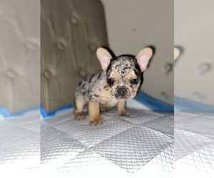 French Bulldog Puppy for Sale in MONEE, Illinois USA