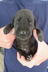 Great Dane Puppy For Sale in NEW BRAUNFELS, Texas,