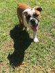 English Bulldogge Puppy For Sale in JACKSONVILLE, FL, USA