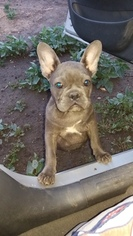 French Bulldog Puppy For Sale in EMERSON, NJ