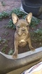 French Bulldog Puppy For Sale in EMERSON, NJ,