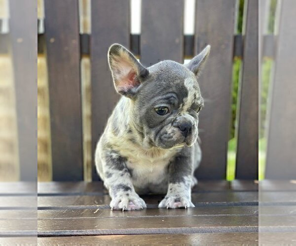 Medium Photo #2 French Bulldog Puppy For Sale in MANCHESTER, NH, USA