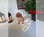 Puppy 11 Cavapoo