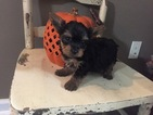 Yorkshire Terrier Puppy For Sale in JOHNSTON CITY, IL,