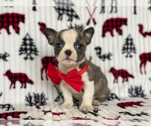 Buggs Dog for Adoption in LANCASTER, Pennsylvania USA