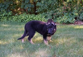 German Shepherd Dog Puppy For Sale in ATTLEBORO, MA, USA