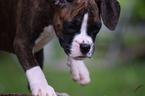 Boxer Puppy For Sale in BUCHANAN, MI