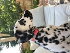 Dalmatian Puppy For Sale in DENVER, CO, USA