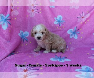 View Ad Poodle Miniature Yorkiepoo Mix Puppy For Sale