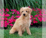Small #2 Labradoodle-Poodle (Miniature) Mix