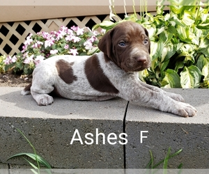 German Shorthaired Pointer Dog for Adoption in HINDSBORO, Illinois USA