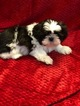 Shih Tzu Puppy For Sale in GRANBURY, TX, USA