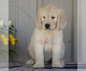 English Cream Golden Retriever-Poodle (Standard) Mix Puppy for sale in FREDERICKSBG, OH, USA